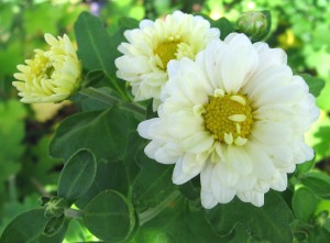 Yellow_and_white_chrysanthemums